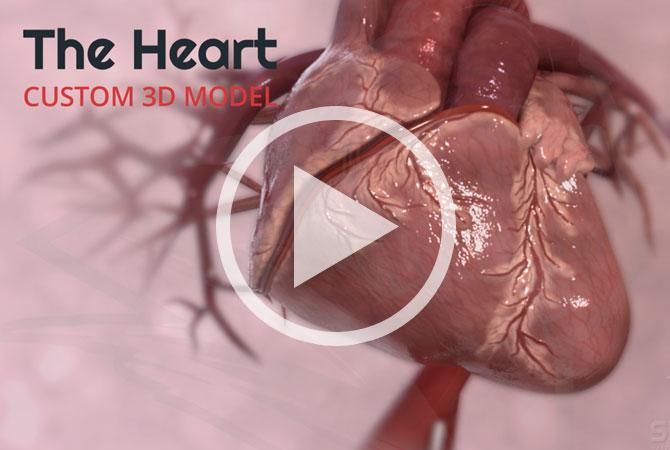 3D Animated Heart Model - Silverback Video LLC